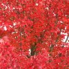 Maple tree with red leaves - closeup