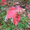 Blackberry leaves in fall - red