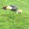 Crowned Crane at Indianapolis Zoo